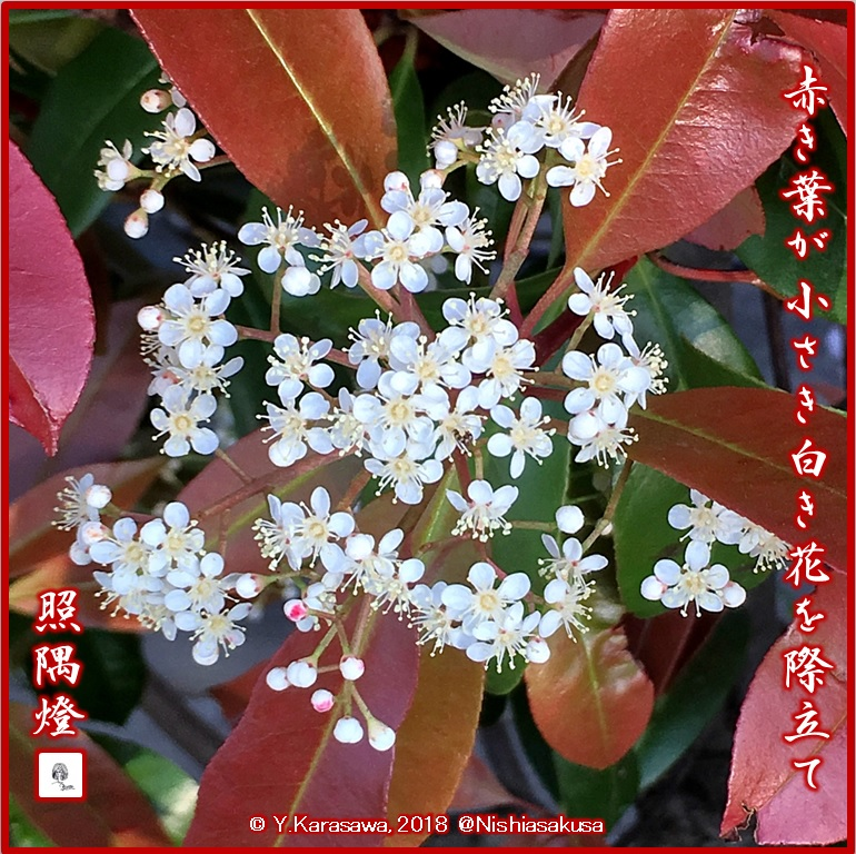 180529紅要糯の花LRG
