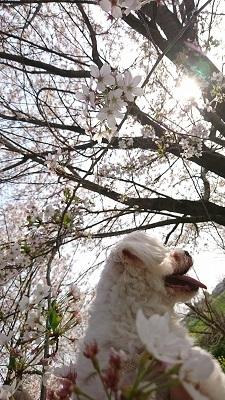 雪と桜 (3)
