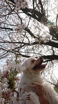 雪と桜 (4)