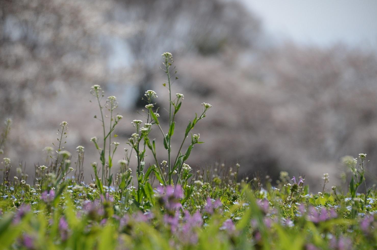 DSC_0250桜びょうぶにナズナ