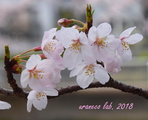 3月27日cherry blossom