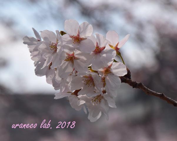 3月27日さくら透過光2