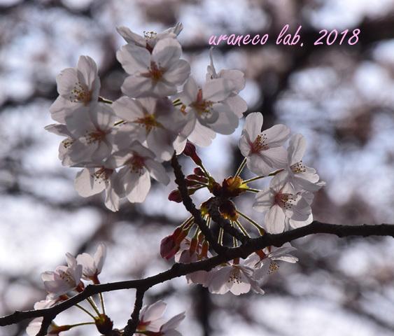 3月27日さくら透過光4