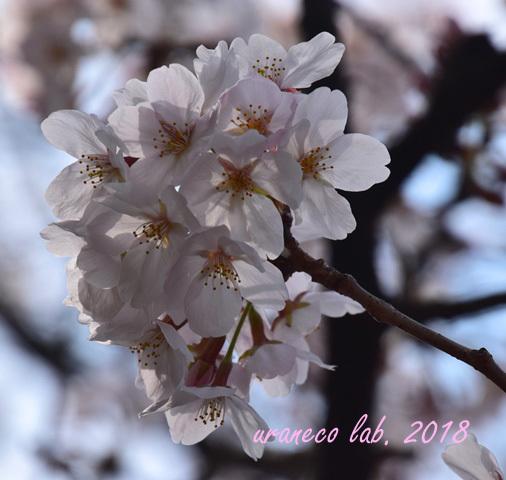 3月27日さくら透過光8