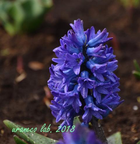 3月19日ヒヤシンス紫2