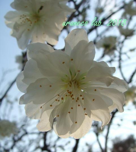 3月19日花桃4