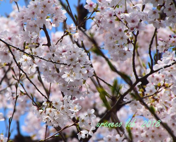 4月2日昭和桜6