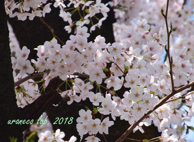 4月2日昭和桜5