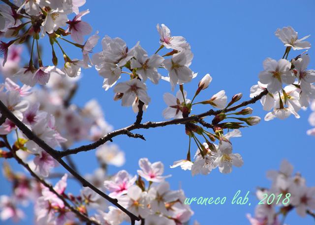 4月2日昭和桜4
