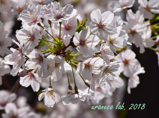 4月2日昭和桜2