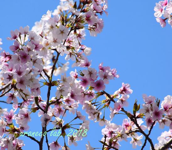 4月2日昭和桜3