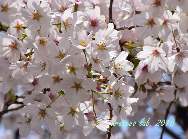 4月2日昭和桜