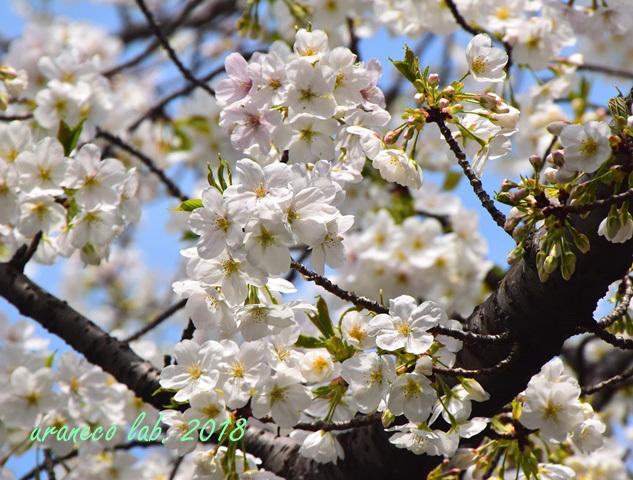 3月27日大島桜6
