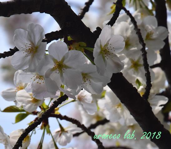 3月27日大島桜4