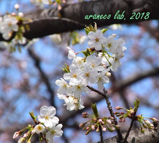 3月27日大島桜5
