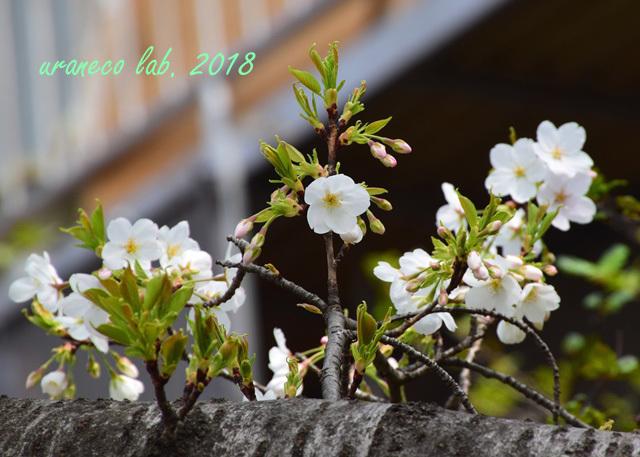 3月27日大島桜3