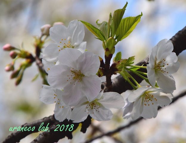 3月27日大島桜2