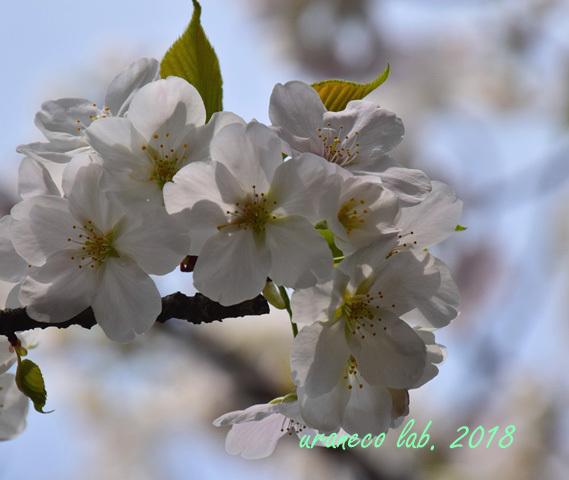 3月27日大島桜
