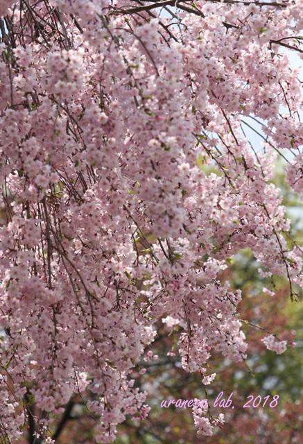 4月4日枝垂桜6