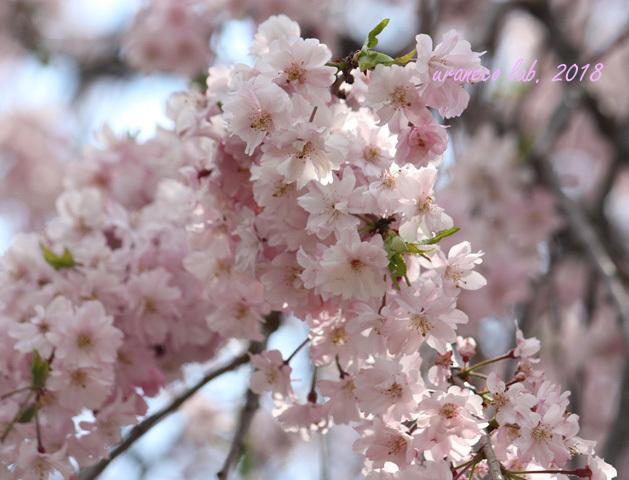4月4日枝垂桜5