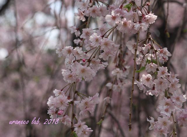 4月4日枝垂桜4