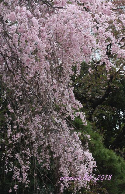 4月4日枝垂桜3