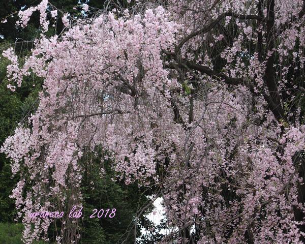 4月4日枝垂桜