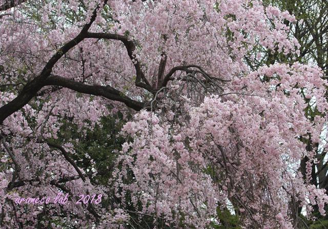 4月4日枝垂桜2
