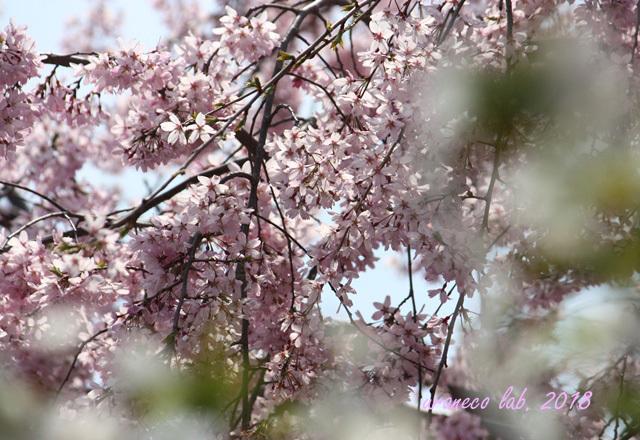 4月4日枝垂桜9