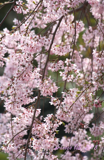 4月4日枝垂桜7