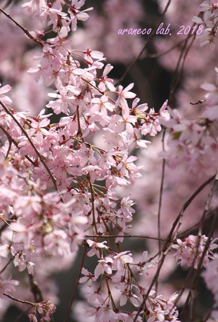 4月4日枝垂桜8