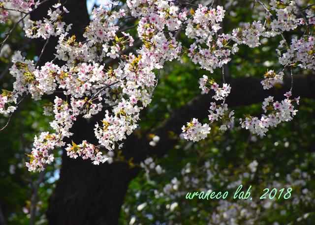 4月2日散りゆく桜6
