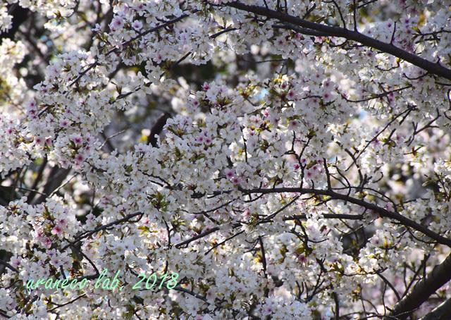4月2日散りゆく桜7