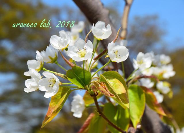 4月2日類産梨2