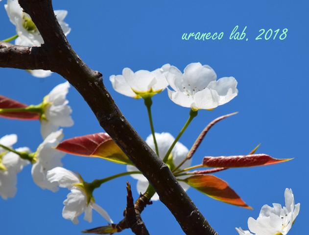 4月2日類産梨