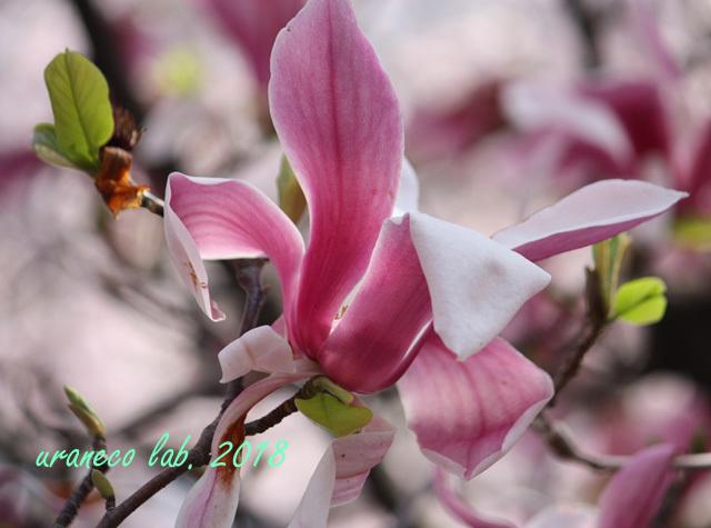 4月6日紫木蓮