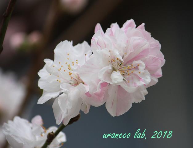 4月6日花桃4