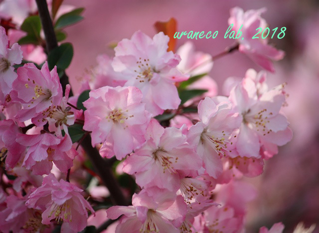 4月6日花海棠2