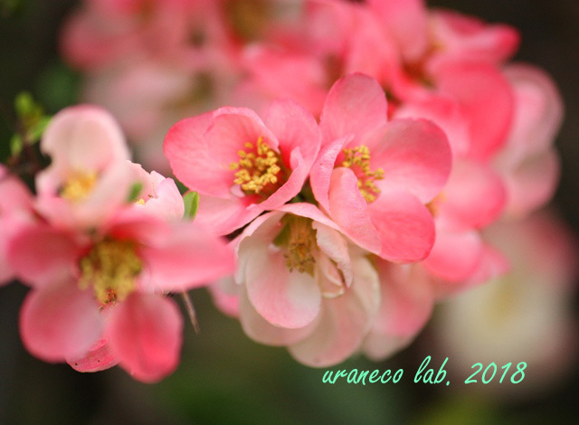 4月6日木瓜