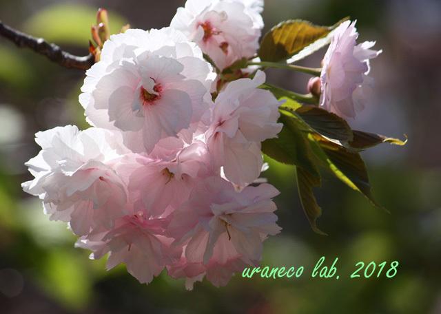 4月13日八重桜2