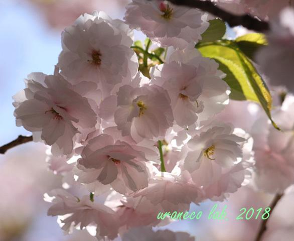4月12日八重桜7