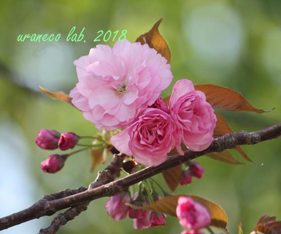 4月13日八重桜7