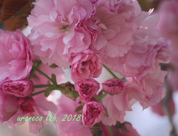 4月13日八重桜5