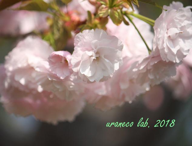 4月13日八重桜9