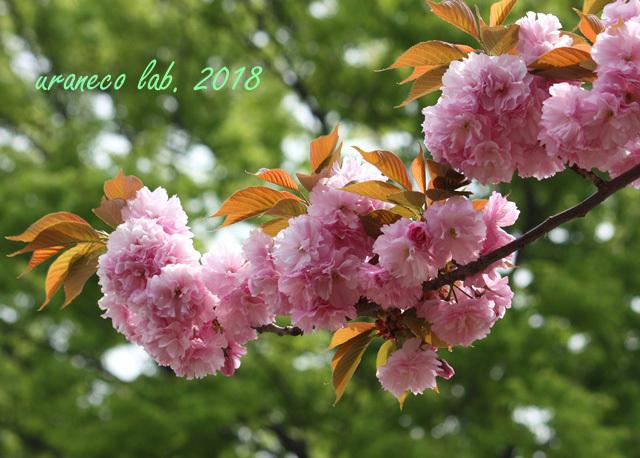 4月13日八重桜4