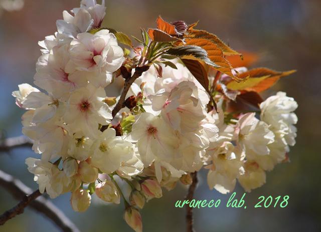 4月12日鬱金桜3