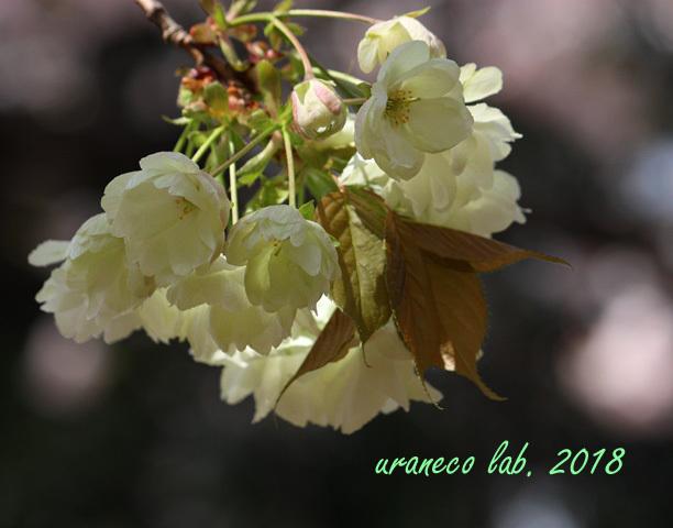 4月13日鬱金桜5