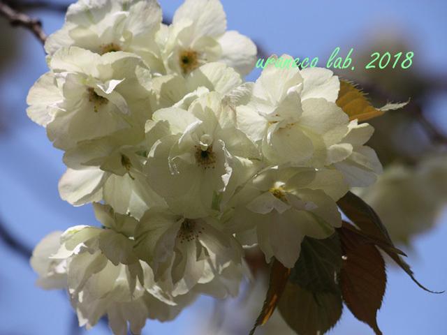 4月13日鬱金桜4