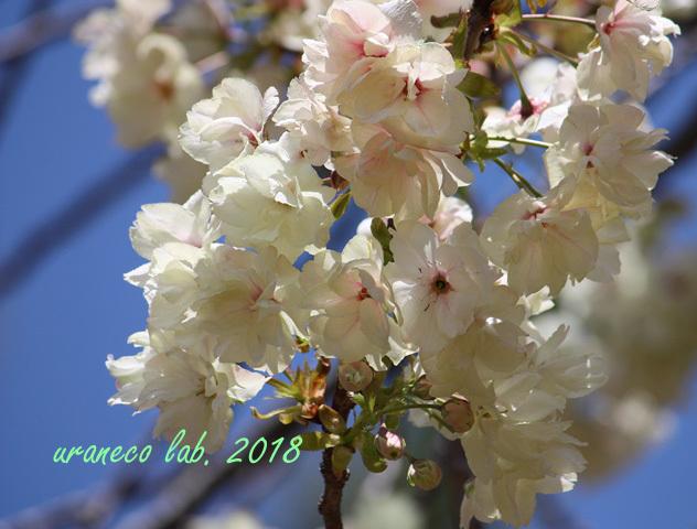 4月13日鬱金桜2