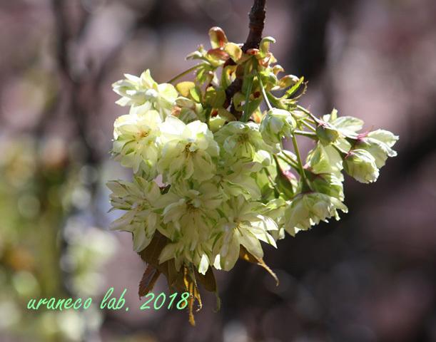 4月12日鬱金桜